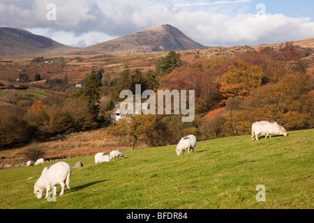 Welsh Mountain Sheep grazing in mountains of Snowdonia National Park countryside in autumn. Capel Curig Conwy North - Stock Photo