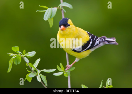 American goldfinch (Carduelis tristis) perched on a branch near Toronto, Ontario, Canada - Stock Photo
