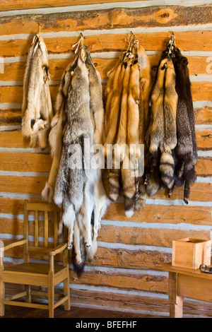 Badger Wolf and Red Silver and Cross Fox pelts in Master's House at Last Mountain House Provincial Park Regina Saskatchewan - Stock Photo