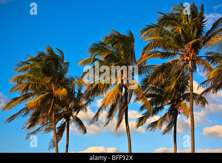 Three palm tree tops in a row, set against blue sky - Stock Photo