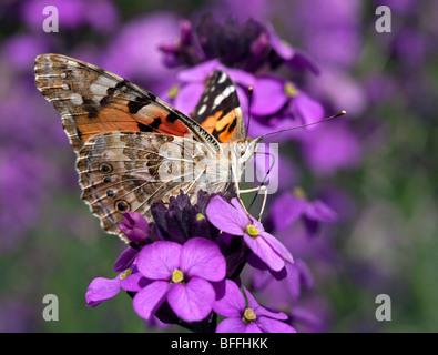 Painted Lady Butterfly (vanessa cardui/cynthia cardui) on Erysimum flower - Stock Photo
