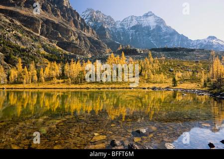 Larch Trees in Fall, Opabin Plateau, Lake O'Hara, Yoho National Park, British Columbia, Canada - Stock Photo