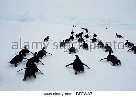 Emperor penguins tobogganing, Aptenodytes forsteri, Weddell Sea, Antarctica - Stock Photo