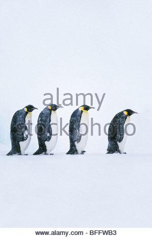 Emperor penguins walking, Aptenodytes forsteri, Weddell Sea, Antarctica - Stock Photo