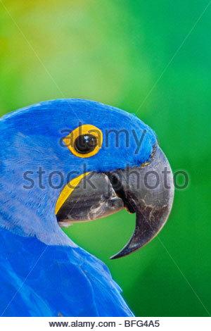 Hyacinth macaw, Anodorhynchus hyacinthinus, Pantanal, Brazil - Stock Photo