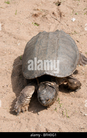 Alligator Snapping Turtle (Macrochelys temminckii) is one of largest freshwater turtles in world. Sandstone Minnesota - Stock Photo