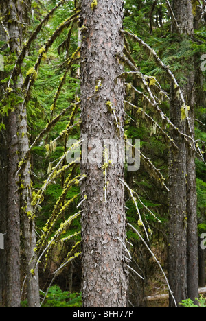 A detail view of a Sitka Spruce with moss and lichen hanging from it's branches. Washington Cascades, USA. - Stock Photo
