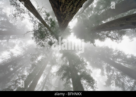 Looking skyward towards the towering Redwood trees along Damnation Creek Trail in Del Norte Coast Redwoods State - Stock Photo