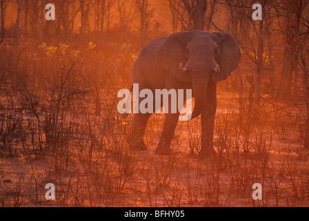 Elephant (Elephantidae) at sunset, Savuti, Chobe National Park, Botswana, Africa - Stock Photo