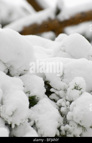 Close up of the fluffy fresh snow on the pine branch - Stock Photo