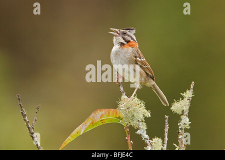 Rufous-collared Sparrow (Zonotrichia capensis) perched on a branch at the Tapichalaca reserve in southeast Ecuador. - Stock Photo
