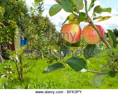 Close up of apples growing on tree in rural garden - Stock Photo