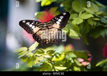 The Key West Butterfly & Nature Conservatory houses live butterflies representing more than 50 species Key West - Stock Photo