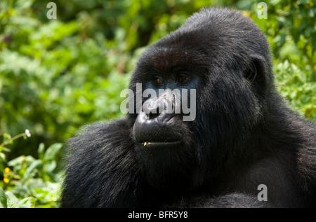 Mountain Gorilla Gorilla gorilla beringei portrait - Stock Photo