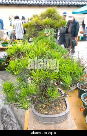 Japan, Kyoto, monthly Flea Market at Toji Temple, bonsai plants, - Stock Photo