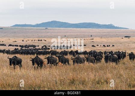 Herd of blue wildebeest, Tanzania, Africa - Stock Photo