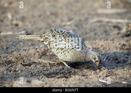 Common pheasant (Phasianus colchicus) female / hen foraging in field - Stock Photo