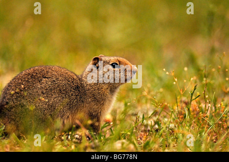 Columbian Ground Squirrel (Spermophilus columbianus) in Glacier national park - Stock Photo