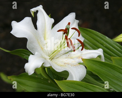 Golden Rayed Lily of Japan, Goldband Lily, Lilium or Species Lily, Lilium auratum, Liliaceae, Japan, Asia - Stock Photo