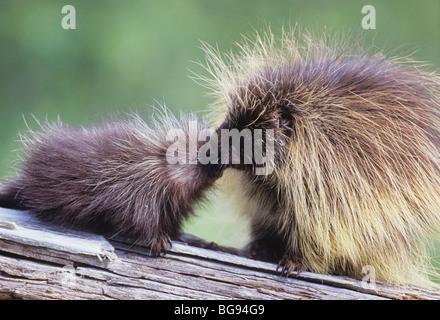 North American Porcupine (Erethizon dorsatum), mother kissing young, captive, USA - Stock Photo