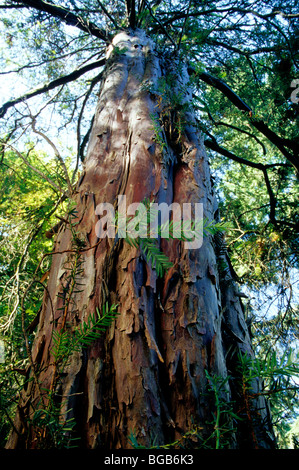 Pacific  Yew tree 'Taxus brevifolia'  looking upward. - Stock Photo