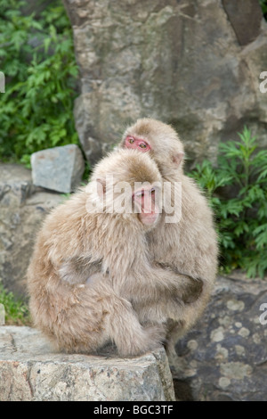 Japanese Macaques (Macaca fuscata) hugging each other - Stock Photo