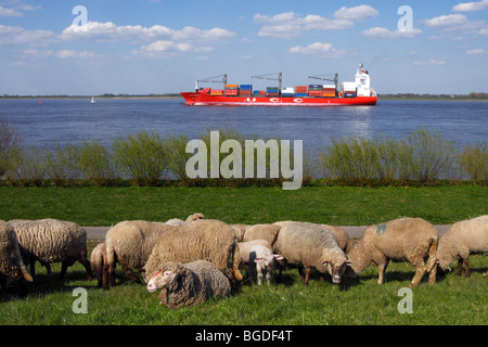 Domestic sheep (Ovis ammon f. aries ), ewes with lambs on a dyke with a containership on the Elbe river, Wisch, - Stock Photo