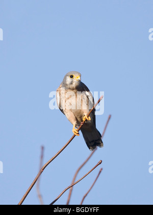 Male Kestrel Falco tinnunculus on branch looking for prey - Stock Photo