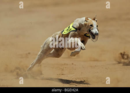 Greyhound at full speed during a race - Stock Photo