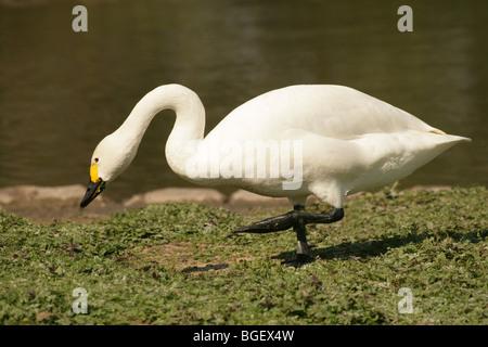 Bewick's or Tundra Swan (Cygnus columbianus bewickii). On land walking. - Stock Photo
