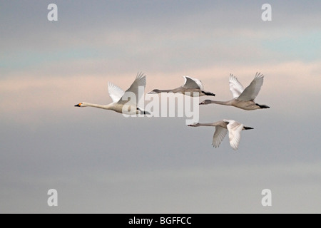 Four Bewick's Swans in flight - Stock Photo