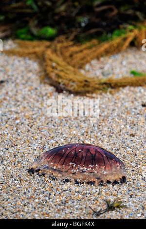 Compass jellyfish (Chrysaora hysoscella) washed ashore on beach - Stock Photo