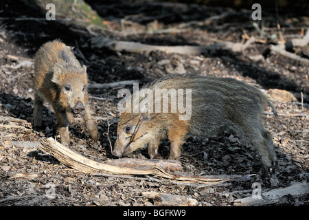 Wild boar piglets (Sus scrofa) playing with twig in forest - Stock Photo