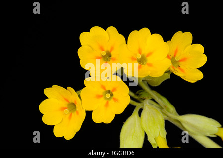 Cowslip (Primula veris) close-up of flowers, Oxfordshire, UK. - Stock Photo