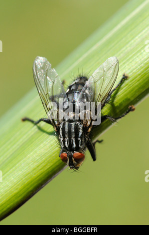 Flesh-fly (Sarcophaga carnaria) at rest on blade of grass, Oxfordshire, UK. - Stock Photo