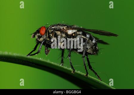 Flesh-fly (Sarcophaga carnaria) on blade of grass, Oxfordshire, UK. - Stock Photo