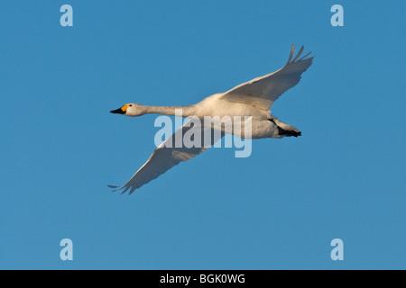 Adult Bewick's Swan (Cygnus columbianus) in flight, Welney WWT, Norfolk - Stock Photo