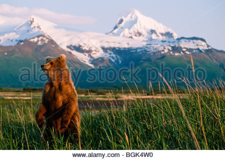 Alaskan grizzly bear standing on its hind legs to get a better view of the environment and appraching dangers. - Stock Photo