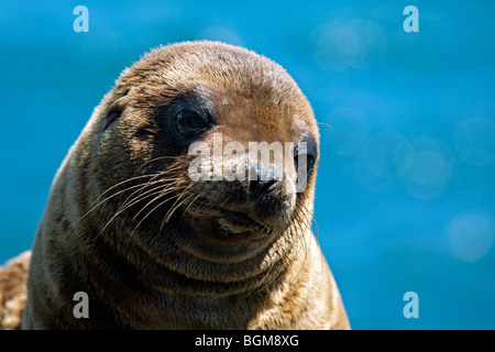 Galapagos sealion / Galápagos sea lion (Zalophus wollebaeki) pup close up portrait, North Seymour Island, Galápagos - Stock Photo