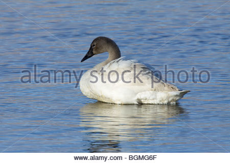 Tundra Swan Cygnus columbianus juvenile Arizona - Stock Photo