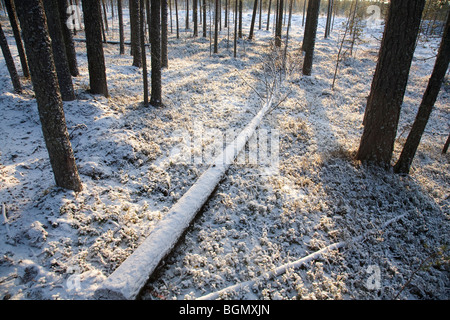 Snow covered fallen tree trunk in pine ( pinus sylvestris ) forest , Finland - Stock Photo