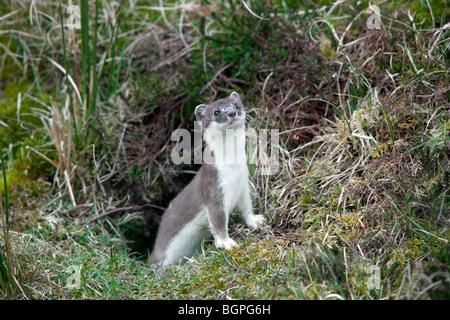 Stoat / ermine / short-tailed weasel (Mustela erminea) in summer coat leaving burrow - Stock Photo