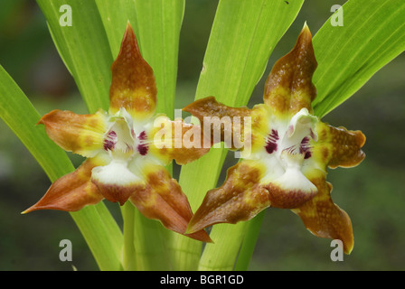 Orchid flowers (Maxillaria), blooming, Costa Rica  - Stock Photo