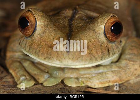 Gladiator Tree Frog head (Hypsiboas rosenbergi), adult, San Cipriano Reserve, Cauca, Colombia - Stock Photo