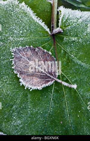 Brown and withered birch leaf with frost and rime on top of a large, green leaf. - Stock Photo