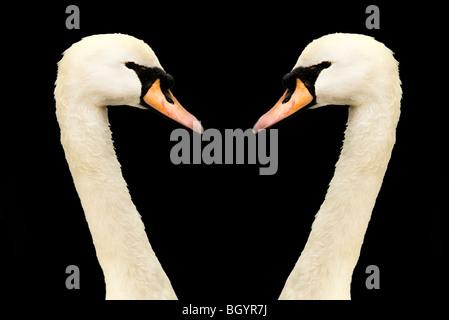 swans heads - Stock Photo