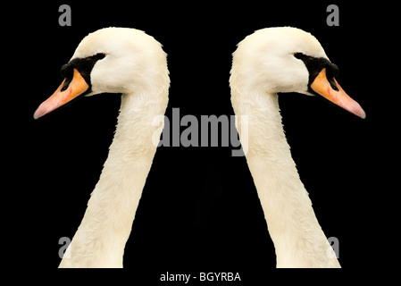 two swans heads looking in opposite directions - Stock Photo