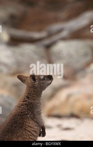 Red-necked wallaby Australia - Stock Photo