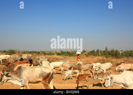 Woman with cattle herd on a country road in the sunlight, Myanmar, Burma, Asia - Stock Photo