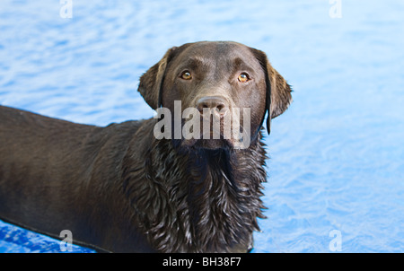 Shot of a Chocolate Labrador in the Swimming Pool - Stock Photo